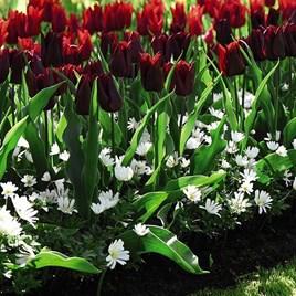 Tulip & Anemone Mix
