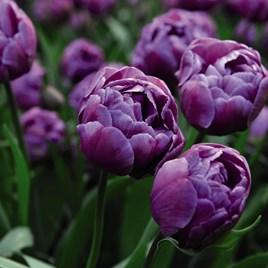Tulip Bulbs -  Blue Diamond