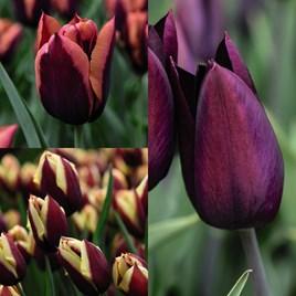 Tulip Striped Mix