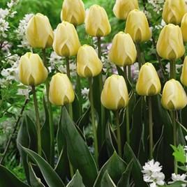 Tulip Bulbs - Cream Cocktail