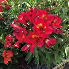 Alstroemeria Summer Lovely