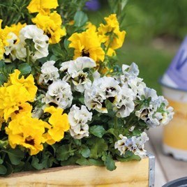 Pansy Orchi Pre Planted Basket