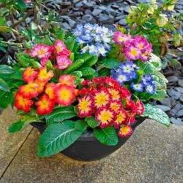 Primrose - Arizona Bicolor Pre Planted Basket