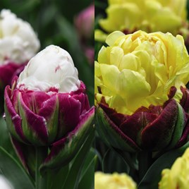 Tulip Bulbs - Ice Cream Duo