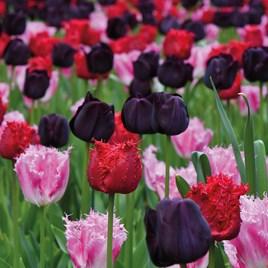 Tulip Berry Sorbet