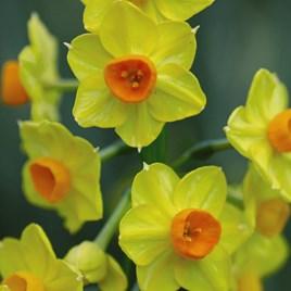 Daffodil Golden Dawn