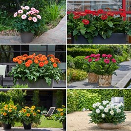Gerbera Plants - Patio Range