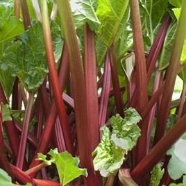 Rhubarb Sanvitos Summer