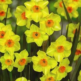 Daffodil Bulb - Jonquilla Collection