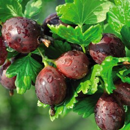 Gooseberry Giggles Red