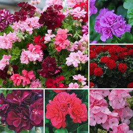 20 geranium jumbo plug plants Nurseryman's Choice Geranium Plant Collection