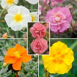 Helianthemum Plant Collection