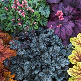 Heuchera Plants - Mosaic Mixed