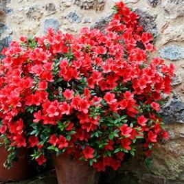 Azalea Rustica Red