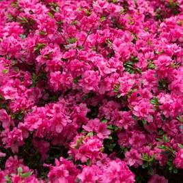 Azalea Rustica Pink