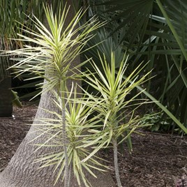 Yucca Jewel Yellow And Green 7.5 Litre Pot