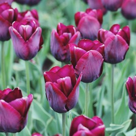 Tulip Triumph Ronaldo