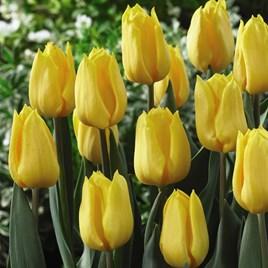 Tulip Triumph Yellow Flight