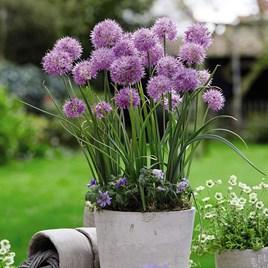 Allium Bulbs -  Rosy Dream