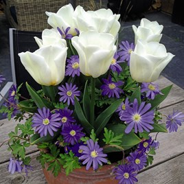 Plant-O-Tray Tulip Royal Virgin & Anemone Blue Mix