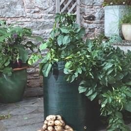 Seed Potatoes - Bargain Patio Growing Kits