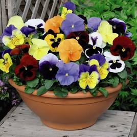 Pansy Plants -  Most Scented Mix