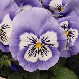 Pansy Plants - Mystique Blue Halo