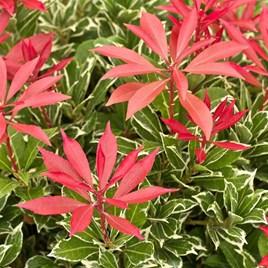 Pieris japonica Plant - Carnaval