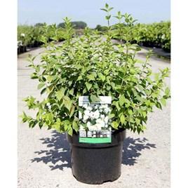 Philadelphus Plant - Manteau d'Hermine