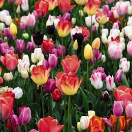 Tulip Full Border Mix
