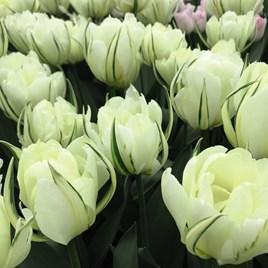 Tulip White Valley