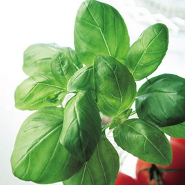 Basil Seeds: Sweet Basil