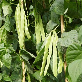 Climbing French Bean Algarve Seeds