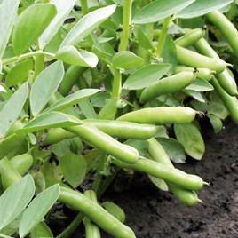 Broad Bean Seeds - De Monica