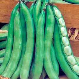 Broad Bean Super Aguadulce