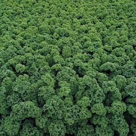 Kale Seeds - Starbor F1
