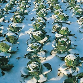 Cabbage Seeds - Tundra F1