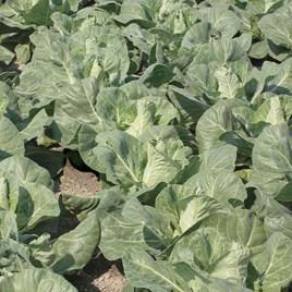 Our Selection Brassica Veg Pots (18) P9 June