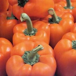 Pepper Grafted Plant - F1 Milena