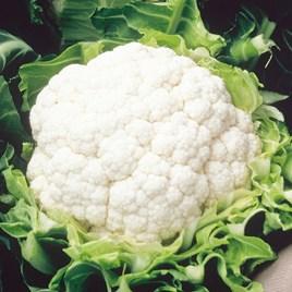 Cauliflower Seeds - Aalsmeer
