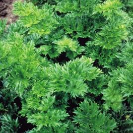 Celery Par-Cel Seeds