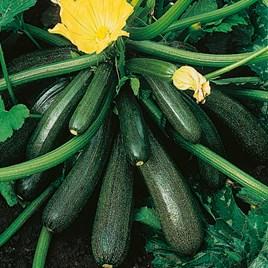 Courgette Seeds - Ambassador F1 -