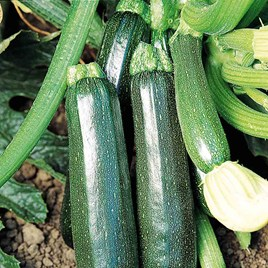 Courgette Plants - Sure Thing
