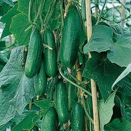 Cucumber Seeds - Passandra F1