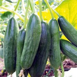 Cucumber Grafted Plant - Mini Star
