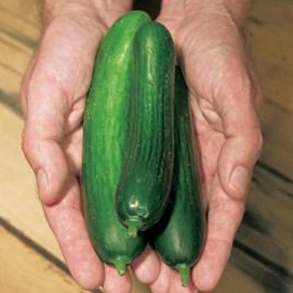 Cucumber Merlin (3)