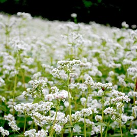 Green Manure - Buckwheat 225G (36 Sqm)