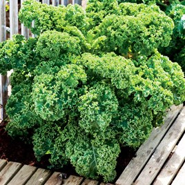 Keep Cropping Kale Dwarf Green Curled - 6x9cm