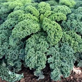 Kale Seeds - Oldenboer F1