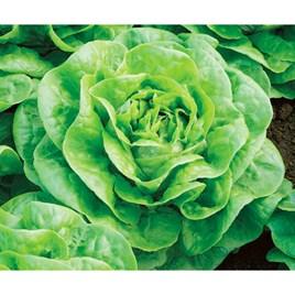 Lettuce - Brighton
